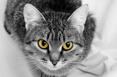 Gato atigrado gris sobre un fondo claro . Foto de archivo - 71022382