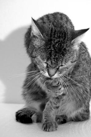 Gato de gato atigrado gris en un fondo ligero. Foto de archivo - 75160889