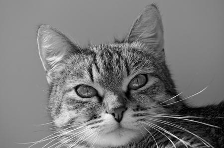 Gato atigrado gris sobre un fondo claro . Foto de archivo - 76663037