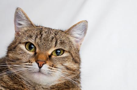 Gray tabby cat on a light background. Foto de archivo - 98366340