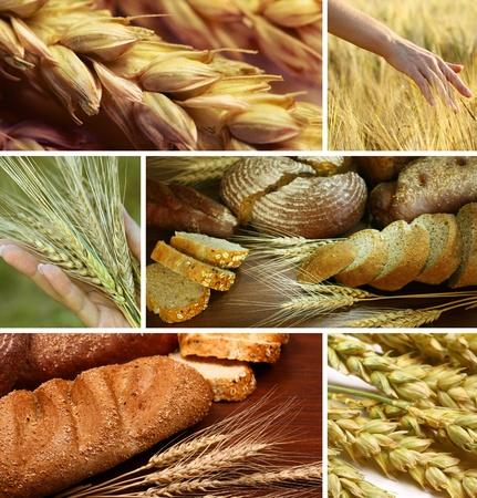 cebada: Collage de cereales