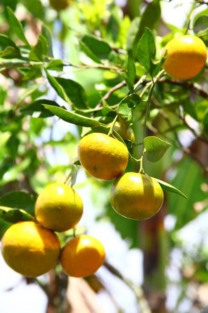 tangerine tree: Growing Ripe Mandarin