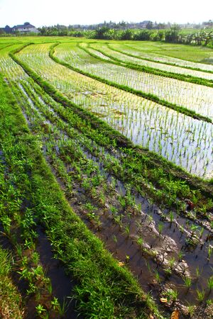 rice plant: paddy rice in field