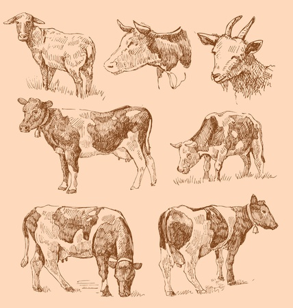 domestic cattle: cows hand draw sketch