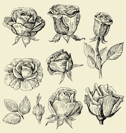 rose bud: roses doodles set Illustration