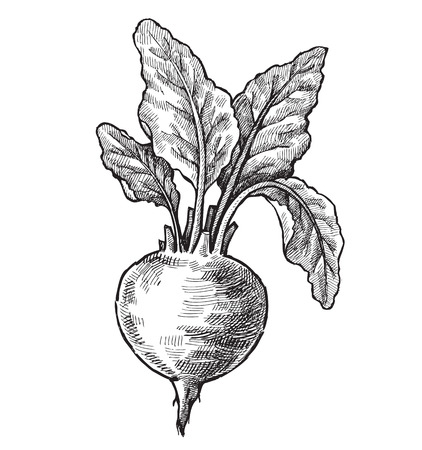 beets: hand drawn of beet Illustration