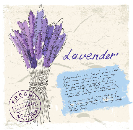 field of flowers: illustration of lavender