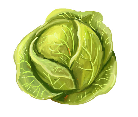 picture of cabbage Illustration