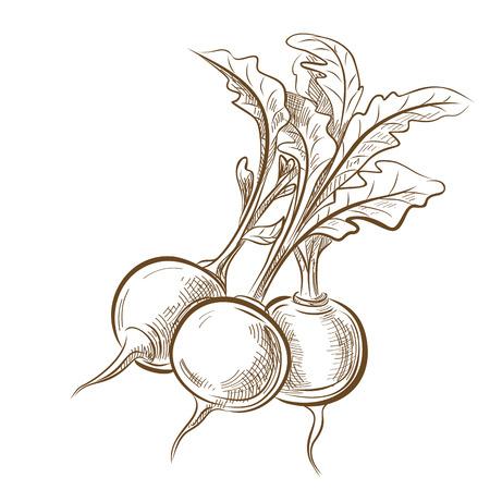 vegetarianism: picture of radish