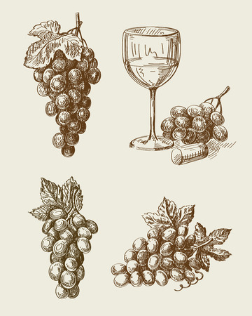 grapes on vine: vector hand drawn grape sketch and vineyard doodle Illustration