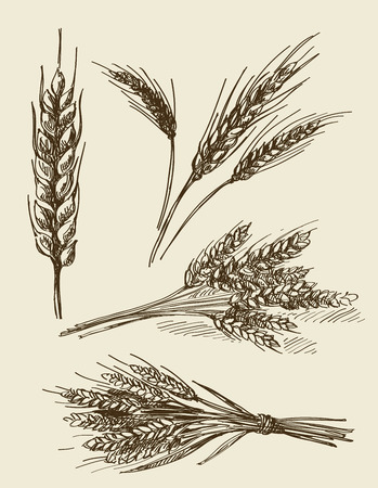 hands plant: vector hand drawn wheat ears sketch doodle Illustration