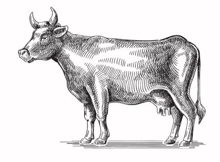 husbandry: vector black hand drawn cow on white background Illustration
