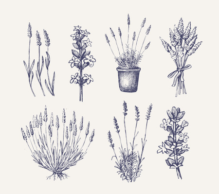 vector hand drawn lavender set on white