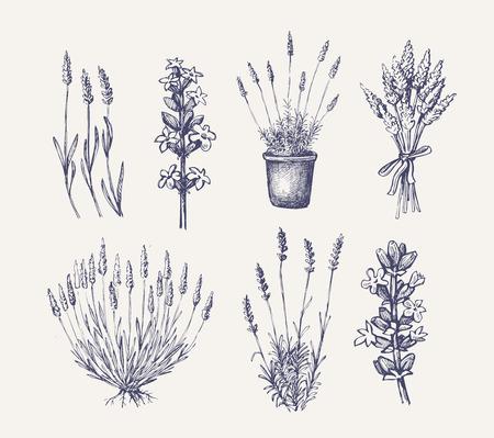 vector hand drawn lavender set on white