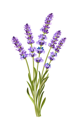 vector bunch of lavender on white background