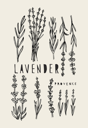 aromatic: vector hand drawn lavender set on white