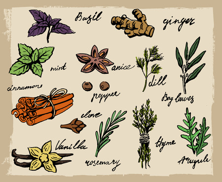 spearmint: set of spices and herbs vector illustration
