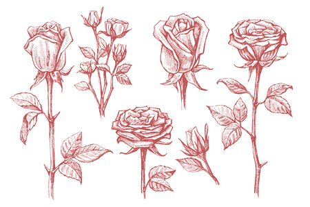 etched: vector roses with leaves set on white background