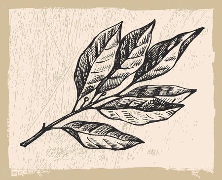 the bay: Hand drawn bay leaf vector illustration on beige