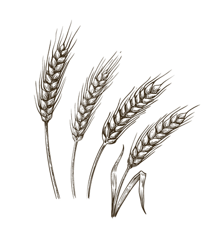 vector hand drawn wheat ears sketch doodle Illustration