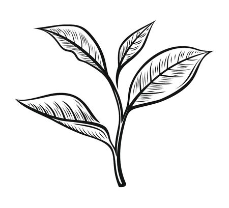 Vector tea leaves. Drawn herbal illustration in sketch style