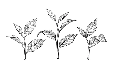 tea leaves. Ink sketch herbal illustration - Vector Vectores