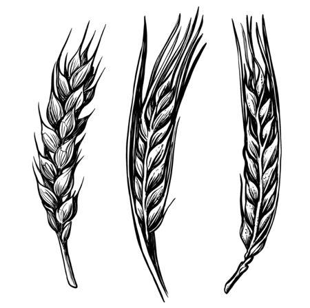 black hand drawn wheat ears sketch Illustration