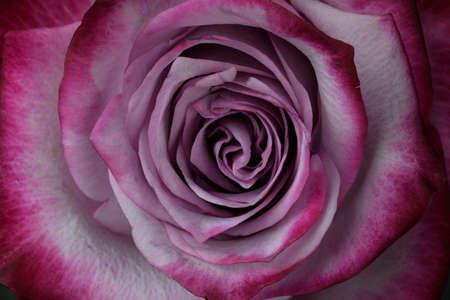 beautiful blooming lilac rose closeup macro