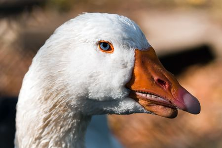 red beak: white goose with red beak