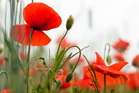 many red poppy plants in the field photo