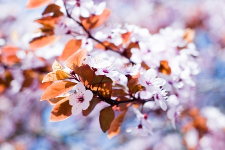 white cherry blossoms on the cherry photo