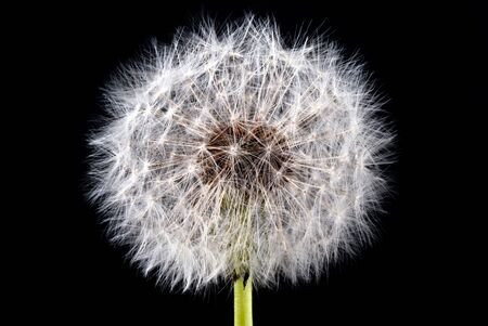a dandelion seed head in front of black background Stock Photo - 9634469