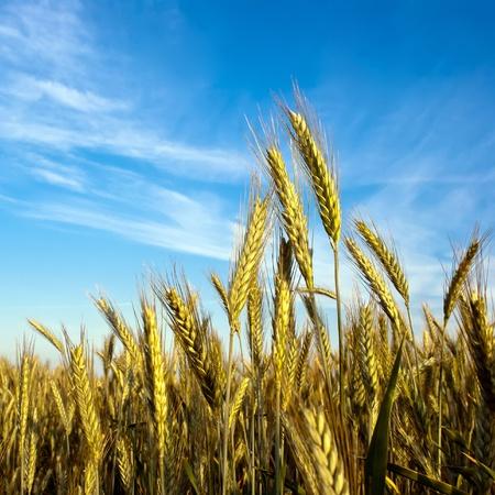 malt: a grain-field in front of blue sky