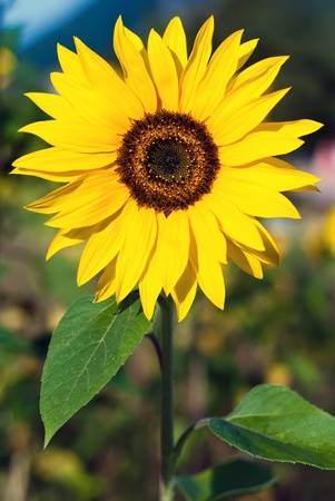 a sunflower stands in the field photo