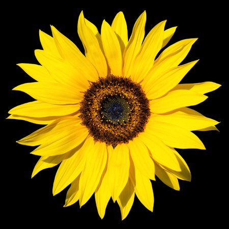 colourfully: yellow sunflower isolated over black background