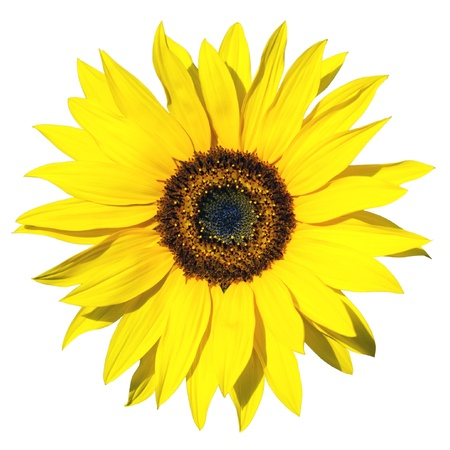 yellow sunflower isolated over white background photo