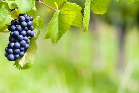 sweetly: bunch of grapes on a field Stock Photo