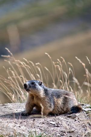 seres vivos: una marmota se esconde en la pradera