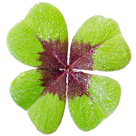 a four-leaved cloverleaf isolates before white background photo