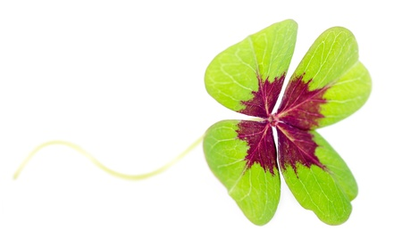 fourleaved: a fourleaved cloverleaf isolates before white background Stock Photo