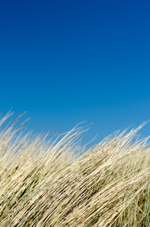 Dune grass before blue sky with clouds Stock Photo - 14076452