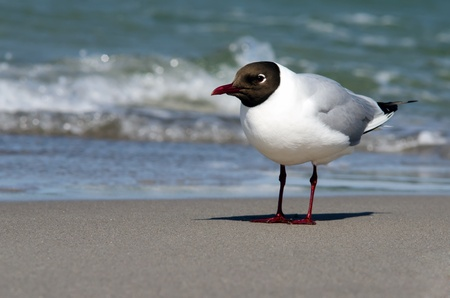 a small gull stands on the beach in the surge photo