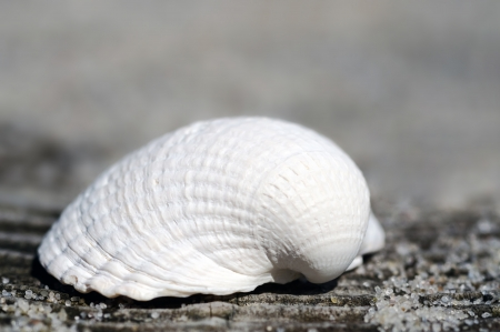 Pebble Beach: a shell lies in the sand at the beach Stock Photo
