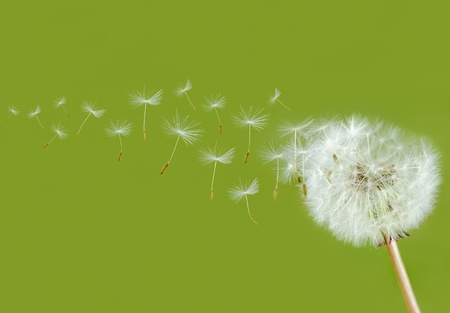 dandelion wind: dandelion seed head bevor green background