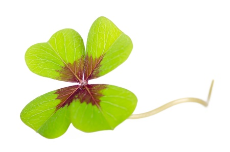 cloverleaf with stalk isolated before white background Stock Photo - 15382135