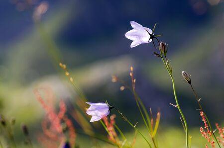 prato montagna: Fiori e piante su un prato di montagna con copia spazio