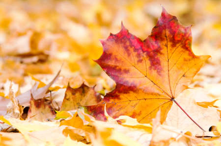 a maple leaf lies on the forest ground photo