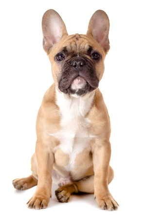 light brown french bulldog before white background photo