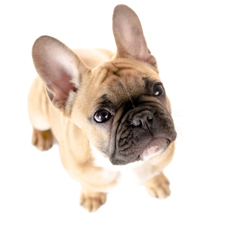 french bulldog: light brown french bulldog before white background