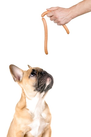 a dog looks after a sausage before white background photo